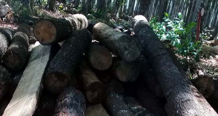 Barang bukti kayu pinus di TPK Druju. (sur)