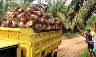 Panen raya kelapa sawit wilayah Malang Selatan. (dok)